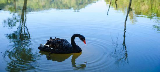 #171;Черный лебедь