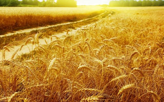 Росстат: сбор пшеницы