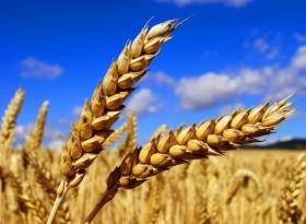 Libertex Show: Пшеница