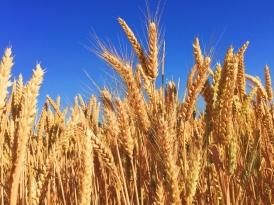 Биржевой рынок зерна:  в